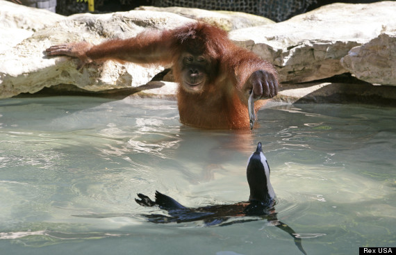 Orangutan feeding penguins at the Myrtle Beach Safari park, South Carolina, America - 2013